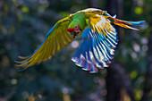 Costa Rica Rainforest Manzanillo Gandoca National Park Green Macaw