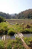Rice fields, Mae Sa, Chiang Mai, Thailand