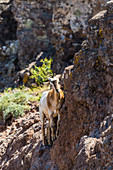 A goat climbs in the mountains of Garajonay National Park, Valle Gran Rey, La Gomera, Canary Islands, Spain