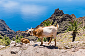 Goats climb in the mountains of Garajonay National Park overlooking the Atlantic Ocean, Valle Gran Rey, La Gomera, Canary Islands, Spain