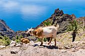 Ziegen klettern im Gebirge des Nationalpark Garajonay, Blick auf den Atlantik, Valle Gran Rey, La Gomera,