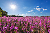 Willowherb on a meadow, Amrum, North Sea, Schleswig-Holstein, Germany