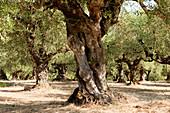 Alter Olivenhain, Zakynthos, Ionische Inseln, Griechenland