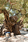 Ancient olive tree in the village Exo Hora, Zakynthos, Ionian Islands, Greece