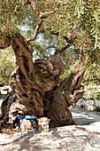 Uralter Olivenbaum im Dorf Exo Hora, Zakynthos, Ionische Inseln, Griechenland