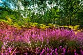 Blühendes Heidekraut am wilden Weststrand von Darß, Nationalpark, Mecklenburg-Vorpommern