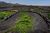 Vineyards of La Geria on volcanic ash of the 1730s. Eruptions, Lanzarote, Canary Islands, Spain, Europe