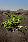 Traditional farming method in the wine-growing region of La Geria in Lanzarote. La Geria, Lanzarote, Canary Islands, Spain, Europe
