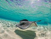 Stechrochen unter Wasser, Stingray City, Grand Cayman, Cayman Islands schwimmt