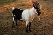 Bearded goat on farm