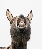 Playful donkey showing teeth