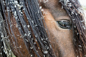 Close up dandelion seeds in hair of brown horse