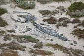 Animal skeleton in sand