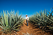 Harvesting agave for tequila, Tequila, UNESCO World Heritage Site, Jalisco, Mexico, North America