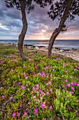 Flowers on the coast of Dugi Otok, Croatia