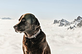 Brown Labrador dog stands in the mountains in front of the snow-covered mountain peaks of the Churfirsten, covered in fog. Switzerland