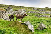 Wild Soay sheep and lamb, ancient breed, stone remains of village, Hirta, St. Kilda Archipelago, UNESCO World Heritage Site, Outer Hebrides, Scotland, United Kingdom, Europe