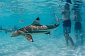 Schwarzspitzen-Riffhaie (Carcharhinus melanopterus), bei Stingray City, Moorea, Gesellschaftsinseln, Französisch-Polynesien, South Pacific, Pazifik kreuzen