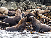 Adult Steller sea lions (Eumetopias jubatus), near SGang Gwaay Island, Haida Gwaii, British Columbia, Canada, North America
