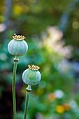 Two opium poppy†Papaver†somniferum†seed heads, Chester, Nova Scotia, Canada