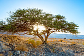 Beautiful natural scenery with acacia tree and desert, Masada, Dead Sea Region, Southern District, Israel