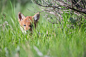 Coyote pup hiding in grass looking at camera, Jackson Hole, Wyoming, USA