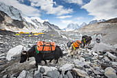 Yaks are entering Everest base camp (5364 meters / 17,598 ft) after carrying loads of climbers all the way from Lukla. The trek to Everest Base Camp (EBC) is possibly the most dramatic and picturesque in the Nepalese Himalaya. Not only will you stand face to face with Mount Everest, Sagarmatha in Nepali language, at 8,848 m (29,029 ft), but you will be following in the footsteps of great mountaineers like Edmund Hillary and Tenzing Norgay. The trek is scenic and offers ever-changing Himalayan scenery through forests, hills and quaint villages. A great sense of anticipation builds as you trek u