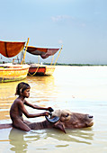 Little Indian boy swimming with bull in Ganges River, Varanasi, India