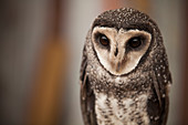 The greater sooty owl (Tyto tenebricosa), is a medium to large owl found in south-eastern Australia, Montane rainforests of New Guinea and have been seen on Flinders Island in the Bass Strait.