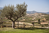 Olivenbaum mit Weinberg im Hintergrund, Rioja, Pamplona, Spanien