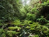 Rainforest, Omanawa Gorge, Bay of Plenty, North Island, New Zealand, Oceania