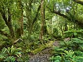 Regenwald am Weg zu den Korokoro Falls, Te Urewera Nationalpark, Nordinsel, Neuseeland, Ozeanien