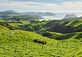 Küste nahe Wharariki Beach, Tasman, Südinsel, Neuseeland, Ozeanien