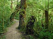 Weg durch den Regenwald, Loop Track, Oparara Basin, Kahurangi Nationalpark, Südinsel, Neuseeland,