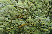 Regenwald, Fiordland Nationalpark, Southland, Südinsel, Neuseeland, Ozeanien