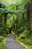 Weg durch den Regenwald nahe Fox Glacier, Westland Nationalpark, Südinsel, Neuseeland, Ozeanien