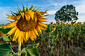 Sunflowers on the plateau of Valensole, Plateau de Valensole, Provence, France