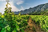 Vineyard on Route Cezanne, Domaine de Saint Ser, Montagne Sainte-Victoire, Provence, Bouches-du-Rhône, France