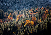 Coniferous forest with deciduous trees in autumn colors in between, Hinterriss, Tyrol, Austria
