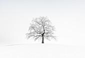 Allein stehender Baum im Winter bei Nebel, Schnee und Frost, Münsing, Voralpenland, Bayern, Deutschland