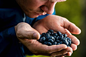 Man cupping and smelling fresh, ripe blueberries