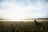 Spanish Water Dog howling in sunny rural field at dawn