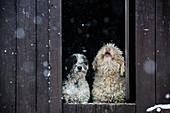 Spanische Wasser-Hunde hinter Scheunentor