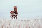 Icelandic brown horse in field, Reykjanesbaer, Iceland