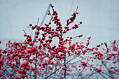 Red berries growing on winter plant