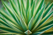 Extreme close up green aloe vera plant