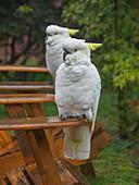 Cockatoos on wooden chairs in garden in Katoomba, Australia