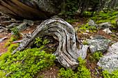 Twisted tree trunk by rocks