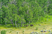 Moose by forest in Picabo, Idaho, USA