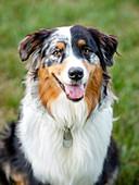 Portrait of Australian Shepherd dog